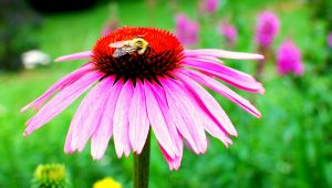 Coneflower Bee.jpg