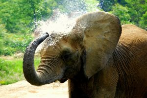 Elephant Splashing Water.jpg