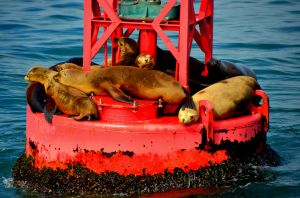 Sea Lions on Buoy.jpg